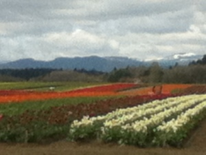 Field of Tulips in bloom