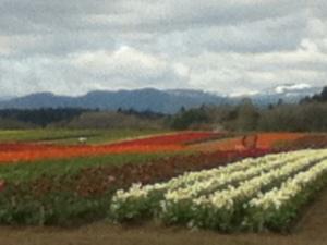 Field of Tulips in bloom